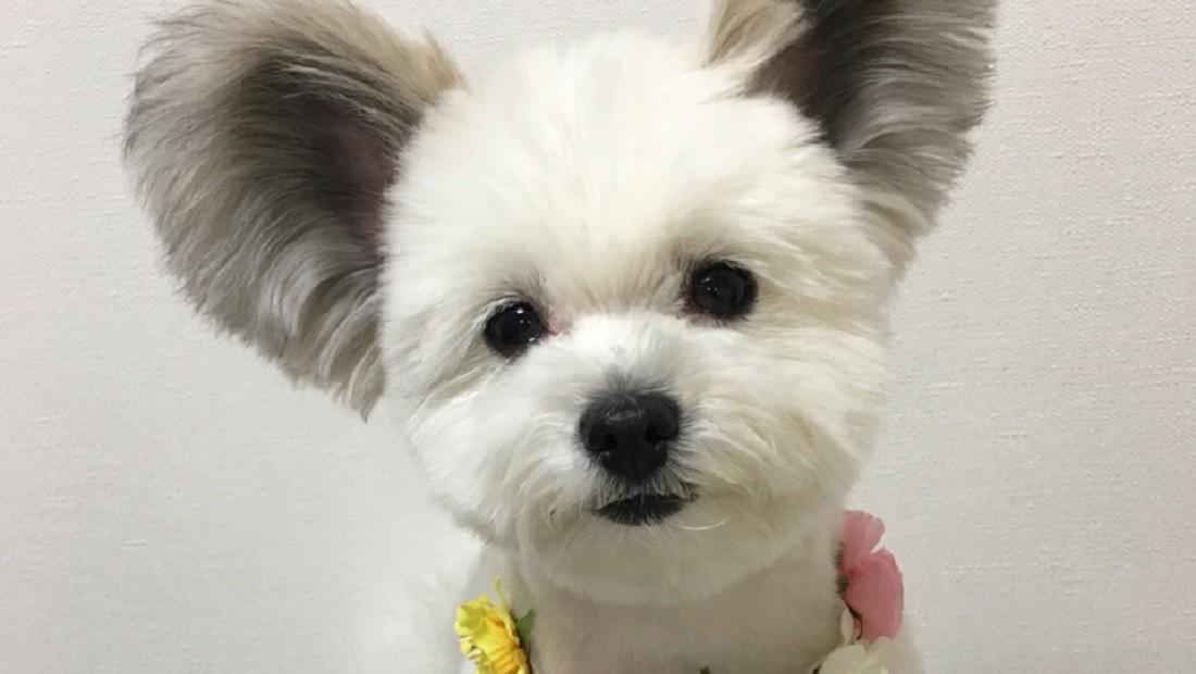 Espèce rare: un petit chien avec des oreilles de Mickey